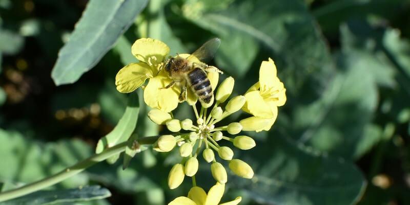 Méh a repceföldön