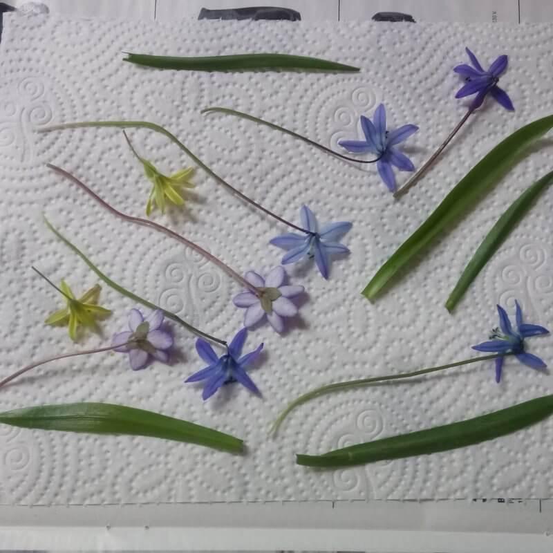 Mezei virág préselése kreatív anyák napi ajándékhoz